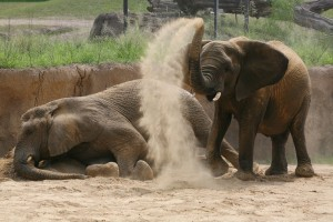 Gypsy and Jenny's playful behaviors are noted during observations by researcher, Nancy Scott. Dallas Zoo/Cathy Burkey