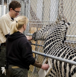 Keepers Russell Pharr and Heather Seymour train Grant zebra Stewart to accept voluntary vaccination injections. Dallas Zoo/Ashley Allen