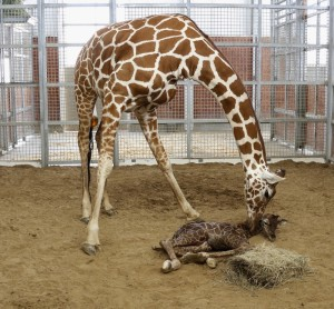 Mother Chrystal licks her newborn calf just moments after his birth Sunday, encouraging him to stand and nurse./Dallas Zoo