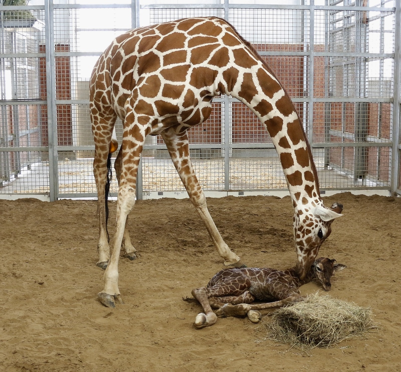 IT'S A BOY! Meet our long-legged baby | Dallas ZooHoo!