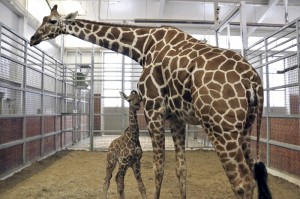 The new calf stuck close to mom Chrystal's side on Tuesday./Dallas Zoo