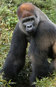 Silverback Subira in his new habitat at the Dallas Zoo.