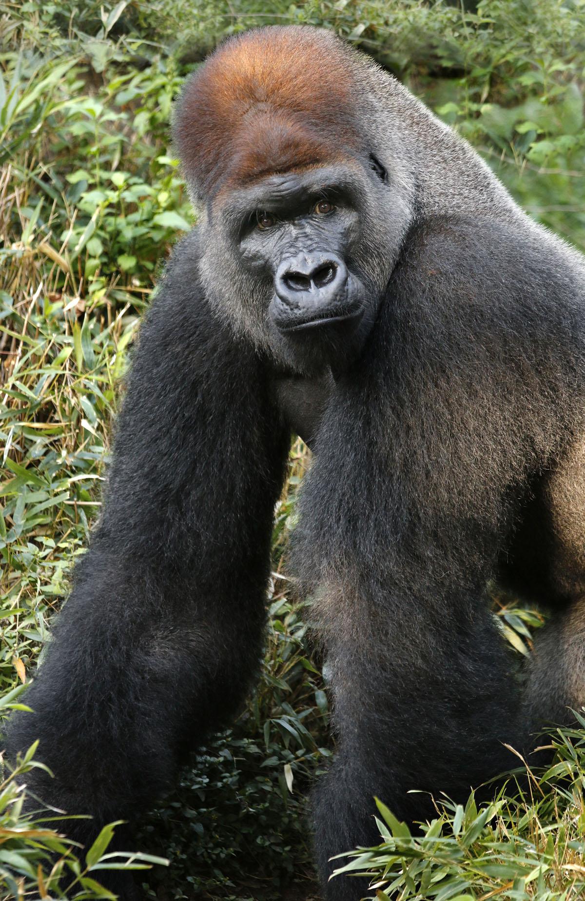Gorilla News