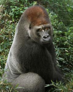 Western lowland gorilla, Subira