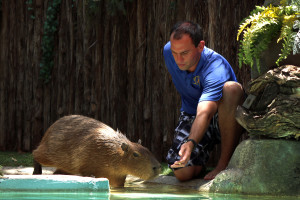Bobby Brett trains Ginger, one of two capybaras new to the SOAR, A Festival of Flight show. Dallas Zoo/Chelsea Stover