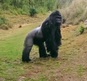 Gorilla Patrick in his new habitat at the Riverbanks Zoo