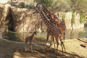 Baby giraffe explores habitat for first time with mother Chrystal and oldest male giraffe, Auggie./Dallas Zoo