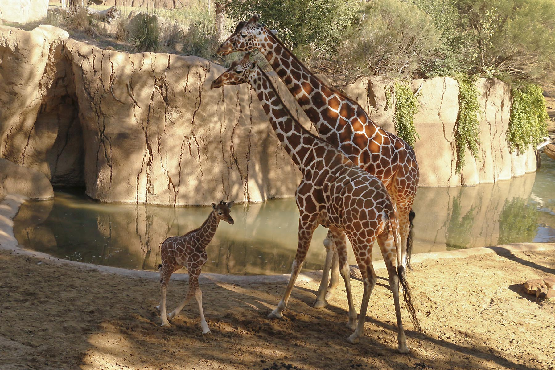 Giraffe dallas zoohoo baby giraffe explores habitat for first time with mother chrystal and oldest male giraffe auggie biocorpaavc Images
