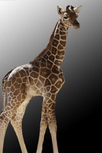 One-week-old Kopano./Dallas Zoo