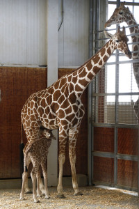 Mom Chrystal nurses her calf in the giraffe barn. Dallas Zoo/Cathy Burkey