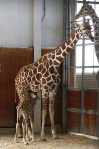 Mom Chrystal nurses her calf in the giraffe barn. Dallas Zoo/Cathy Burkey