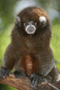 Bolivian gray titi monkey, Cory.