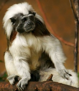 Cotton-top tamarin, Medusa. Her wild counterparts are critically endangered in Colombia.