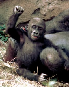 Baby gorilla Wakub (nicknamed Jake) born in 1998.