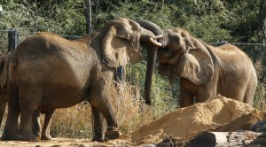 Gypsy greets Mama by intertwining their tusks together.
