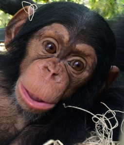 Chimp Mshindi at 6 months old/Keeper Will Bookwalter