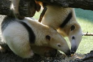 Tamanduas MJ & Chispa together Jan. 2015/Dallas Zoo