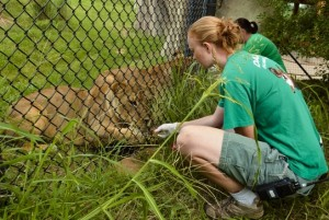 Final step in the morning routine: keepers Becky Wolf & Squires feed the lionesses after they've shifted into the habitat./Dallas Zoo