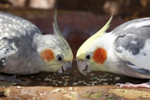 Cockatiels Curtis and Darlene share a meal together./Dallas Zoo