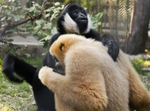 Gibbons Mason and Julius share a sweet embrace./Dallas Zoo