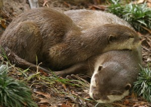 Otters Batt and Carol Lee cuddling during a nap./Dallas Zoo