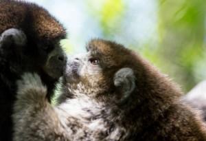 "Titi monkeys Cory & Bolivia caught on the ""kiss cam!""/Dallas Zoo"