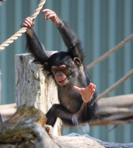 1-year-old Mshindi swings from the habitat ropes./Daniel Zappia