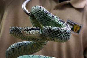 Sir Lankan green pit vipers are one of the snake species Hollowed is responsible for -- he successfully bred about two dozen in 2014.