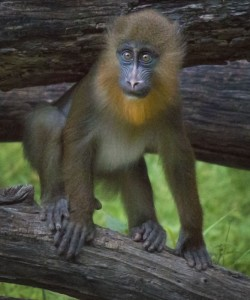 Little mandrill Obi will celebrate his 1st birthday March 28.