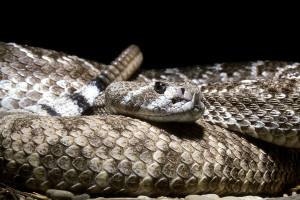 The Western diamondback rattlesnake is the largest western rattlesnake, and the most harmed snake in rattlesnake roundups.