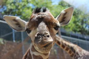Baby Giraffe goes outside for first time