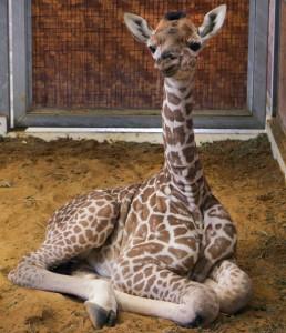 Katy's giraffe baby