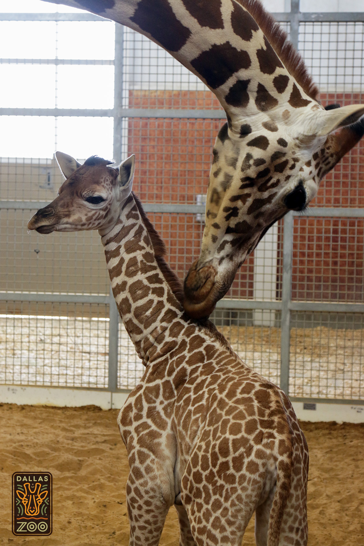 Giraffe dallas zoohoo katie and baby 1 4x6 logo biocorpaavc Images