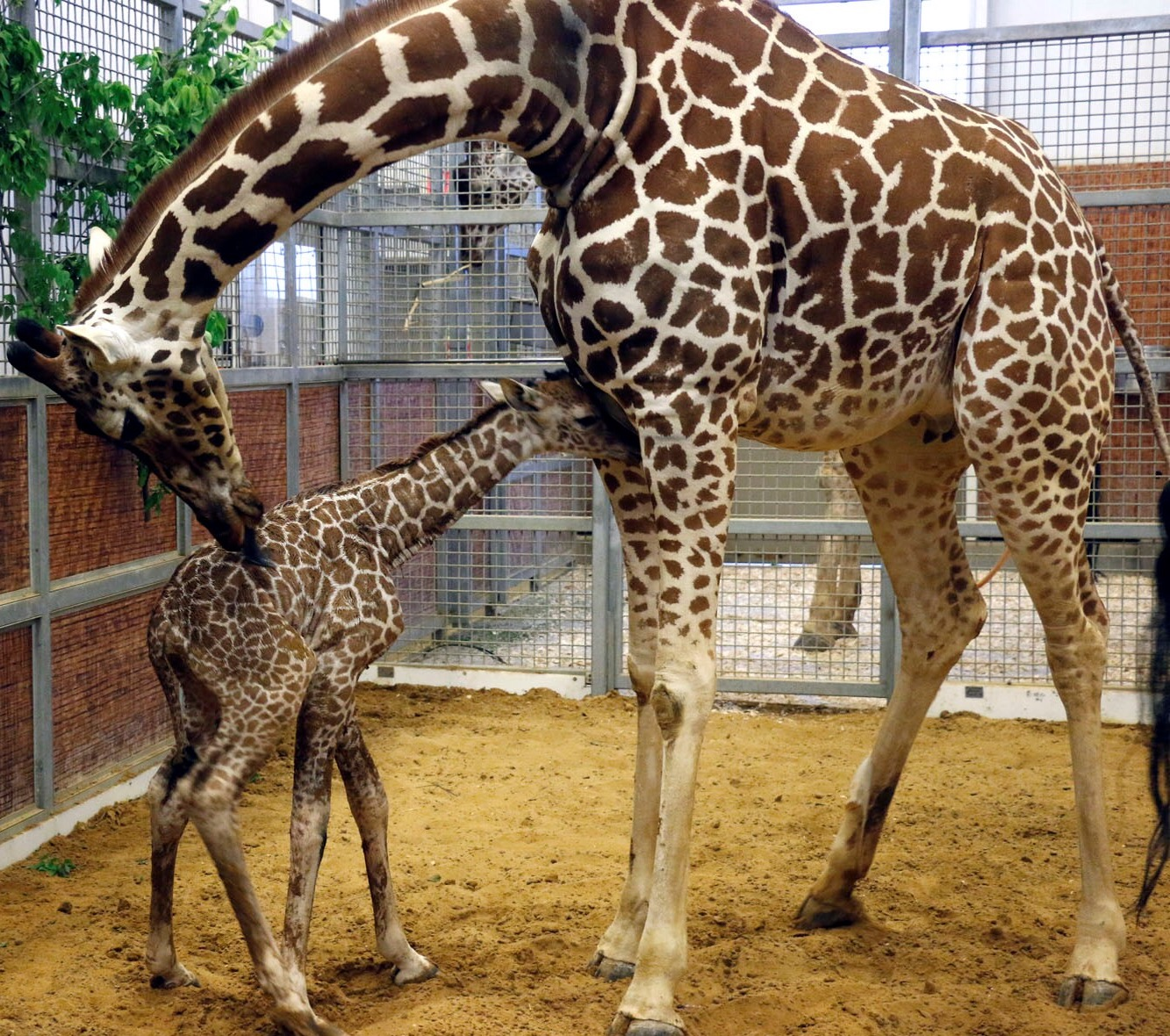 Giraffe dallas zoohoo katie and baby giraffe biocorpaavc Images