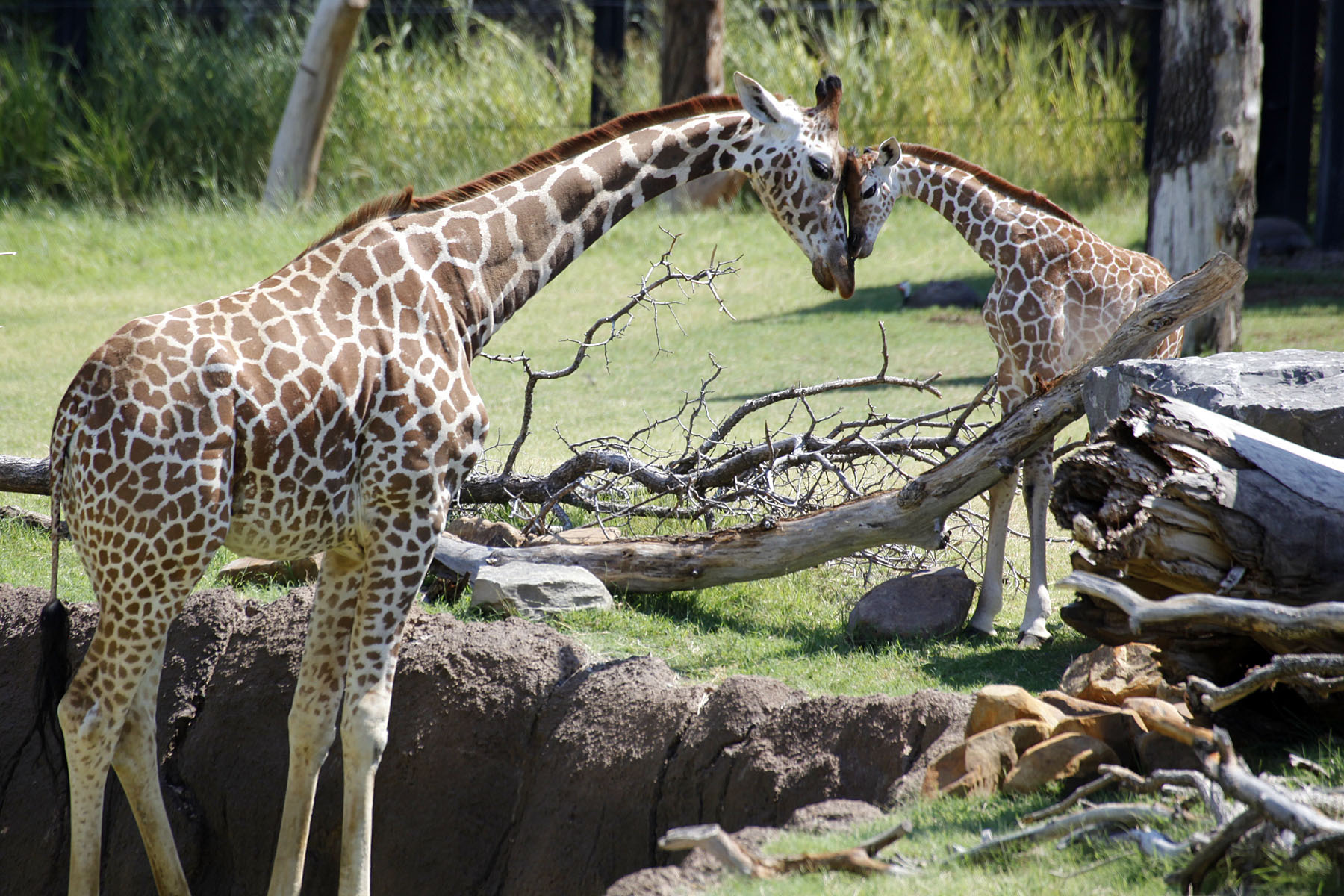Giraffe dallas zoohoo katie and her first calf jamie share a sweet moment in 2011dallas zoo biocorpaavc Images