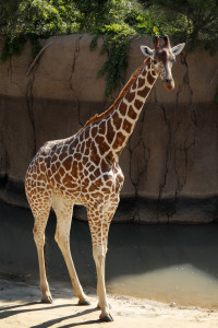 Keepers say giraffe Katie is one of the most beautiful girls in the herd. /Dallas Zoo