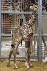 giraffe baby 9