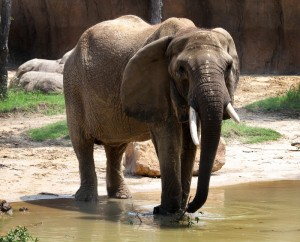 "Elephants ""Mama"" was the matriarch of the all female ""Golden Girls"" herd. She will forever be missed."