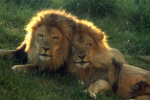 Six-year-old bonded lion brothers Dinari and Kamaia.