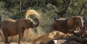 Mama (left) dusts her back with dirt with Kamba nearby in Dec. 2014.