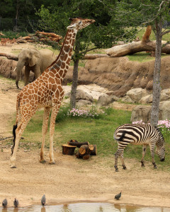 Elephants, giraffes and zebras mingle alongside each other in the Giants of the Savanna habitat.