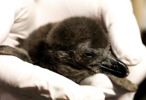 Penguin chick is held by a keeper during a well-baby checkup.