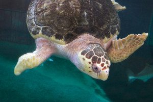 Rescued loggerhead sea turtle, MJ, lives out her life at the Children's Aquarium at Fair Park.