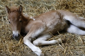 Just days old, Espona naps in the barn.