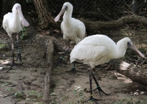_MG_1060-African Spoonbill chicks-Barn 8-CB (640x427)