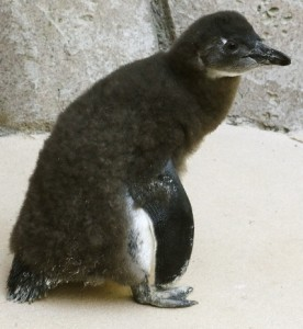 _MG_1922-Penguin Chick 6-9-15-CB (427x640)