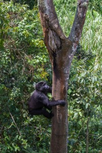 Orphaned gorilla climbs tree in GRACE's new one-of-a-kind forest enclosure.