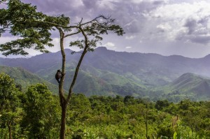 A gorilla scales a tree in the 24-acre forested enclosure, overlooking the mountain range.