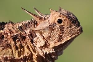 IMG_0504 TX Horned Lizard CS