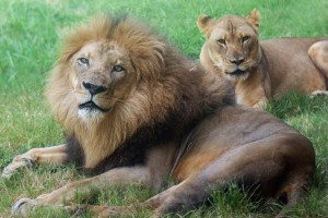 Kamau and Lina enjoy a day out in the habitat together.